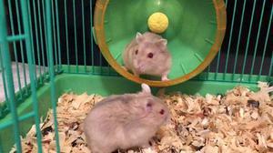 Hamster anão russo argente campbell