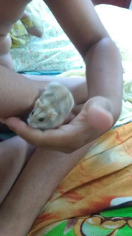 Hamster chinês fêmea para vender logo
