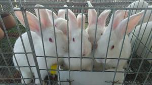 Matriz coelho