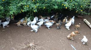 Pintinhos galinha raça brahma