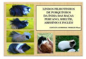 Porquinhos da índia - peruano e sheltie