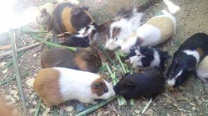 Porquinhos da índia filhotes