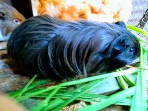 Porquinhos exoticos de pelo longo