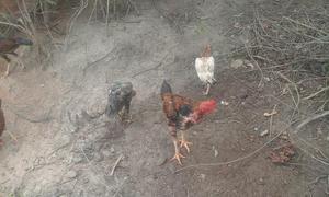 Tenhos 20 galinhas indianas puras
