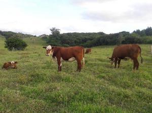 Vacas, novilhas, terneiros e terneiras