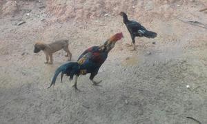 Vendo gansos, frangos cariocas, perus e outras aves