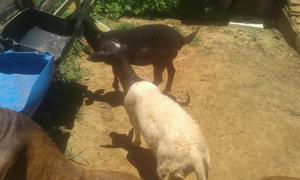 Vendo casal carneiro santa inês