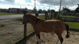 Baixei -vendo cavalo crioulo gateado, 8 anos, capão da