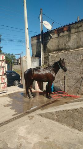 Cavalo 7/8 american trotter