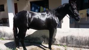 Cavalo american trotter 7/8