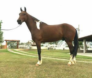 Cavalo mangalarga marchador pampa marcha de centro