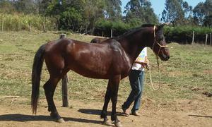 Cavalo mangalarga marchador registrado, garanhão