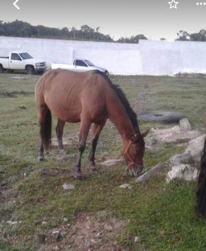 Cavalos crioulos com documentação