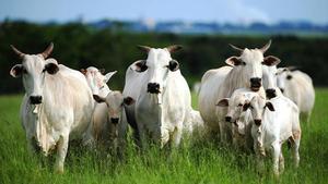 Crédito para compra de gado de corte e leiteiro
