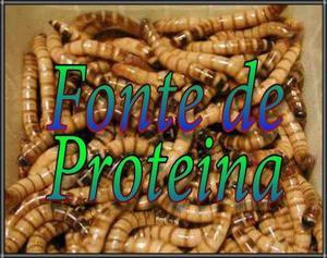 Larvas de tenébrio