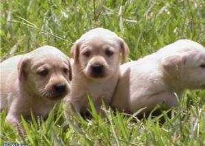 Filhotes de labrador amarelo e chocolate