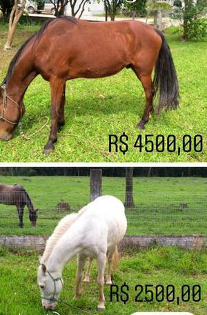 Cavalo crioulo e égua crioula