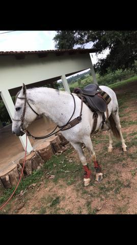Cavalo registrado (manso e dócil)