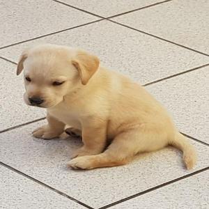 Labrador amarelo e chocolate