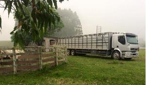 250 boi e vaca, animais gordos, pronto para o abate 600kg