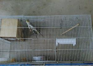 Calopsitas com gaiolas de reprodução