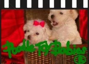 Especializado somente poodle micro e poodle toy lovpuppies