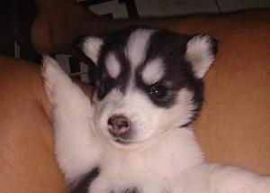 Filhotes de husky siberiano disponíveis com pedigree