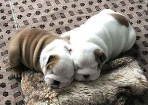 Filhotes de bulldog inglês adorável