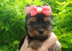 Filhotes disponiveis de yorkshire terrier