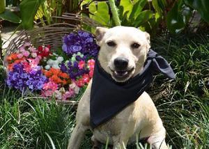 Fubá - cachorrinho porte pequeno - adoção responsável -