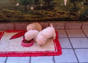 Poodle toy filhotes fêmeas e machos