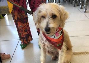 Tobby - mix de poodle para adoção responsável - sp
