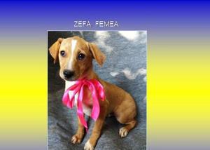 Zefa cachorrinha filhote muito linda somente lar responsavel
