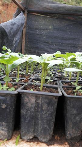 Mudas de melancia e mudas frutiferas diversas sob encomenda