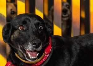 Cão dos olhos coloridos para adoção