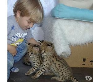 Gatinhos disponíveis savannah f1 caracal serval