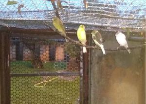 Lindos filhotes de canário belga