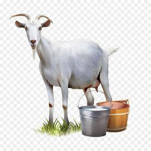 Leite de cabra em niterói