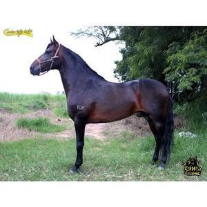 Cavalo mangalarga marchador de pista