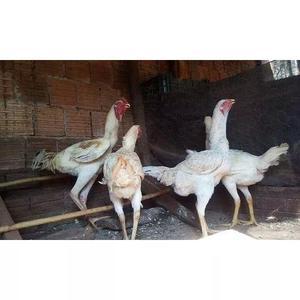 Ovos galados de indio gigante branco
