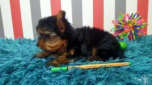 Yorkshire terrier porte mini super pequenos fêmea e macho