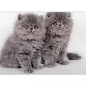 Filhotes de gatos persas varias cores