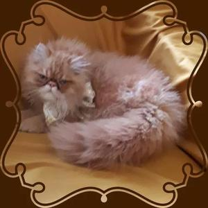 Gato persa red tabby