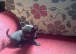 Chihuahua micro (pais campeões)