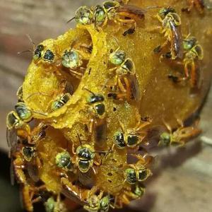 Kit captura para abelhas s