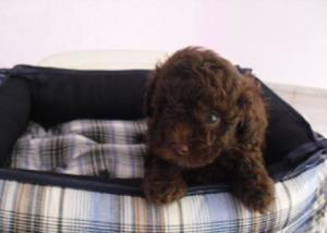 Poodle toy fêmeas marrom chocolate e preta