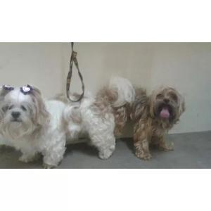 Vende cachorros lhasa apso nascido dia 29/09/18,
