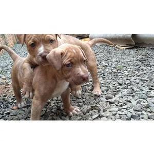 Filhotes de pit bull rednose