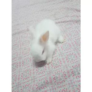 Vende - se coelhos da raça lion head mini