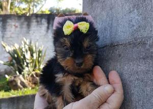 Adquira ja um lindo filhote de Yorkshire terrier